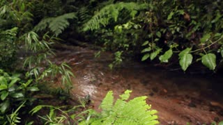 Stream flowing through cloudforest with Browallia flower. In the Andes, Ecuador