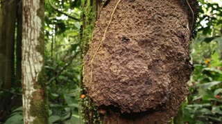 Termite nest on a tree trunk in rainforest, Ecuador