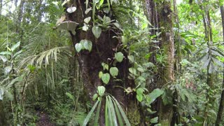 Tracking up an epiphyte covered tree trunk in Amazonian Rainforest in Ecuador.