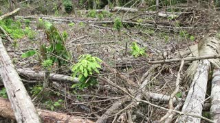Tropical rainforest felled for slash and burn agriculture