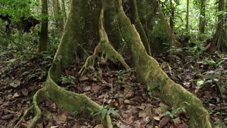 Walking around a buttressed rainforest tree in the Ecuadorian Amazon