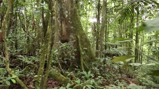 Walking to a large rainforest tree with buttress roots in Ecuador