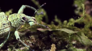 Weevil with unusual snoutArmy ants (Eciton rapax), In the Ecuadorian Amazon.