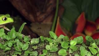 White-lined Monkey Frog (Phyllomedusa vaillanti)