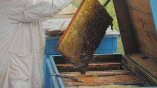 Bees on honeycomb. Honey harvest. Beekeeper lady gently removes bees from the frame.