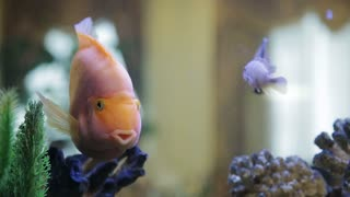 pink fish in the aquarium