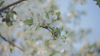 A blooming branch of apple tree in spring with light wind. Blossoming apple with beautiful white flowers. Branch of apple tree in bloom in the spring in sunshine garden.