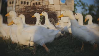 A group of geese are running from the camera in Slow Motion.