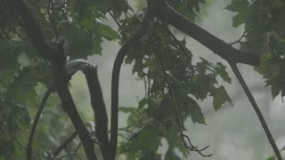 A strong wind shakes branches of trees, and heavy drops of rain falling on leaves, slo-mo capture