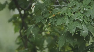 Background of rainy weather. raindrops pour from the sky onto the leaves of the trees