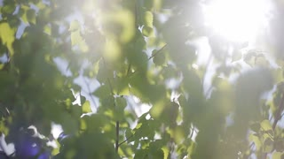 Closeup of beautiful spring branches of birch tree with fresh green leaves and bright sun shining through. Real time full hd video footage.