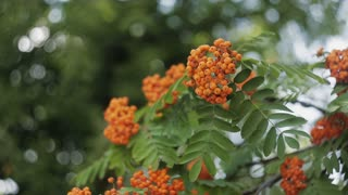 Closeup of orange Rowan berries or Mountain Ash tree with ripe berries in autumn