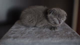 Cute Scottish fold kitten sits in front of a camera and watch with interest