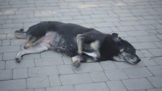 Disabled black dog at animal shelter