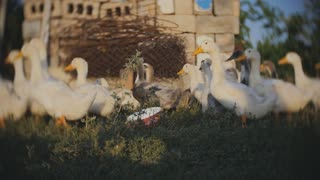 Geese in the village, walk on the grass in Slow Motion.