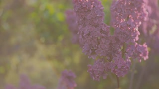 lilac blossom tree in the garden in the spring sunshine, branches of lilac swaying wind, blossoming garden in spring sunset