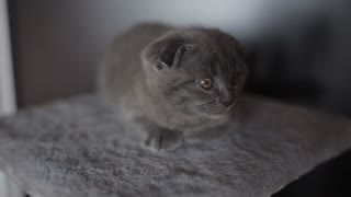 Portrait of a grey Scottish fold kitten lying in front of the camera