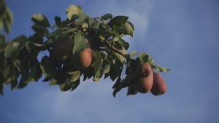 Red and yellow pears on a branch of a pear tree on blue sky background