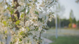Spring flowers on wind. apple blossom, branches with white flowers, young leaves, blue sky. sunny day.