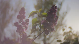 Sunset Sun Shining Through The Lilac Flowers