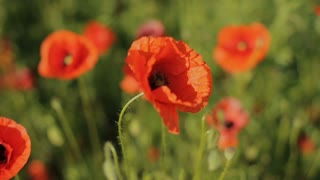 Huge field of blossoming poppies. Poppy field.Field of blossoming poppies. Blossoming poppies.close up of moving poppies.Field in Farmland, Countryside.Poppy field. Blooming Poppies. Slow motion