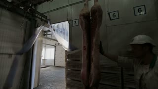 Mans Packaging Pork body hanging in the freezer to the truck. Meat Factory. Meat processing in food industry