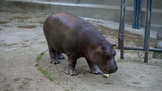 A baby hippo eating in zoo