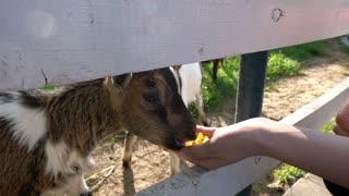a girl feeds a goat