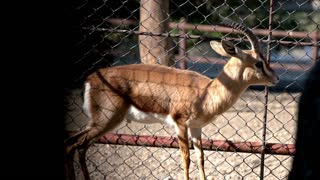 Antelope in the cage