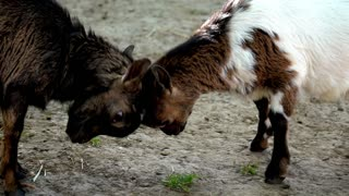 Baby goats fighting in farm zoo
