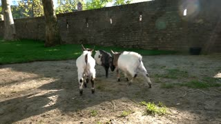 Baby goats fighting in farm