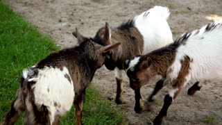 Baby goats playing in farm zoo