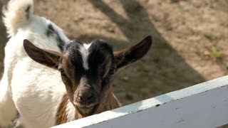 Baby goats playing in farm