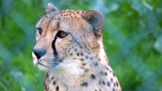 beautiful Cheetah resting in zoo