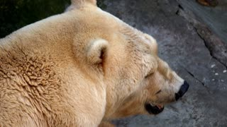big Ice bear lying on cliffs in the zoo