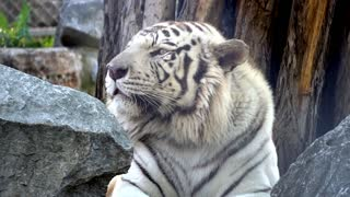 Big White tiger resting on a rock