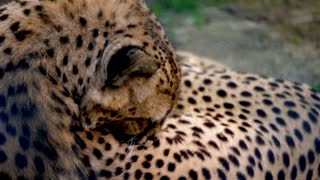 Cheetah leaking himself in zoo