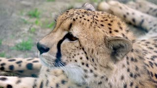 Cheetah resting in zoo