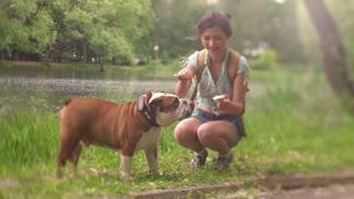cute Bulldog licking ice-cream in woman hand