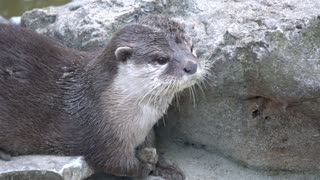 cute otter playing with a stone