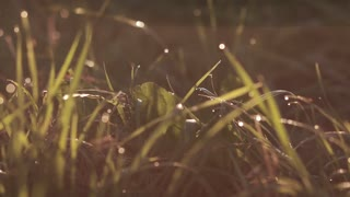 drops of dew on grass in sunrise