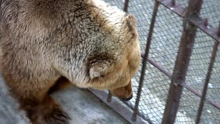 Ice bear lying on cliffs in the zoo behind the wire