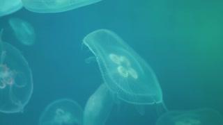 Jellyfishes Swimming In The Oceanarium pool