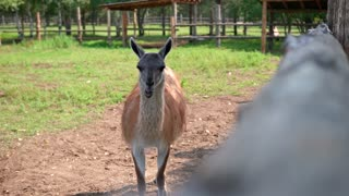 lama chewing in the zoo