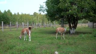 lamas walking in the zoo