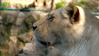lion lying on the ground in zoo cage