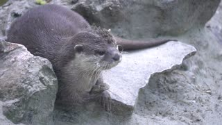 portrait otter playing with a stone