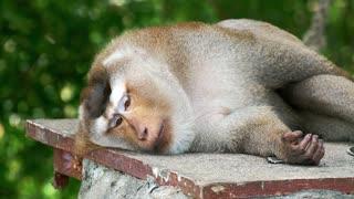 sleepy monkey on stone