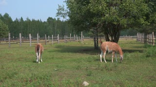 two cute lamas walking in the zoo