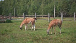 two lamas feeding in the zoo